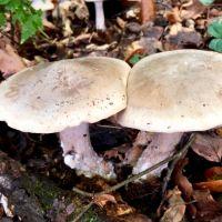 Pilze im Burgerwald Oktober 2019